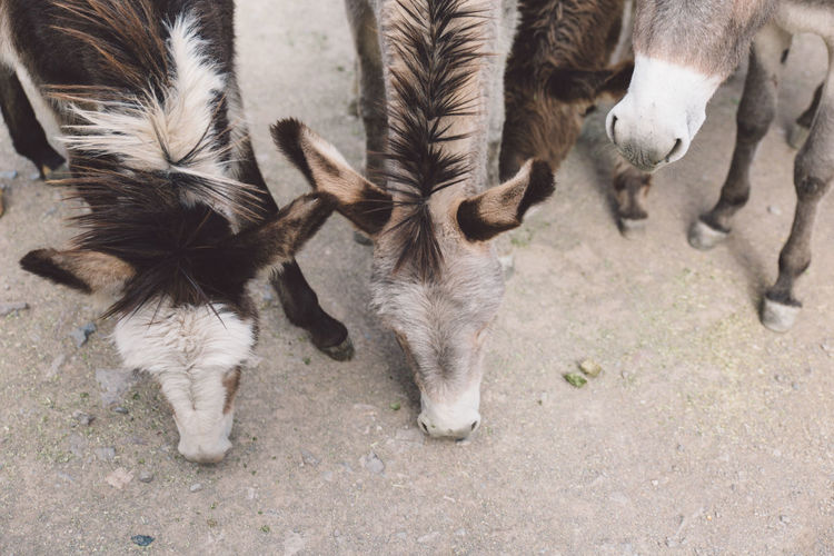 High Angle View Of Donkeys On Field