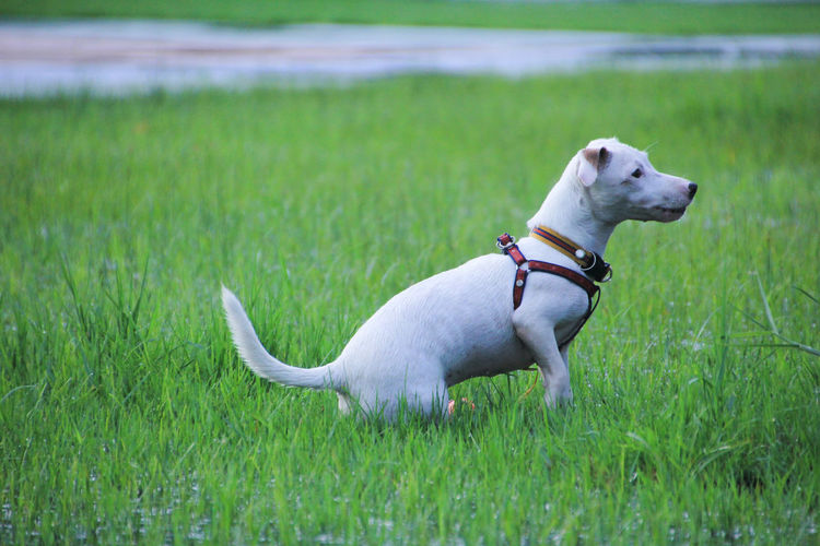 Pets Domestic Animals Domestic Dog Canine Grass One Animal Animal Themes Animal Mammal Plant Green Color Vertebrate Collar Land Pet Collar Field Nature Growth No People Jack Russell Terrier Weimaraner