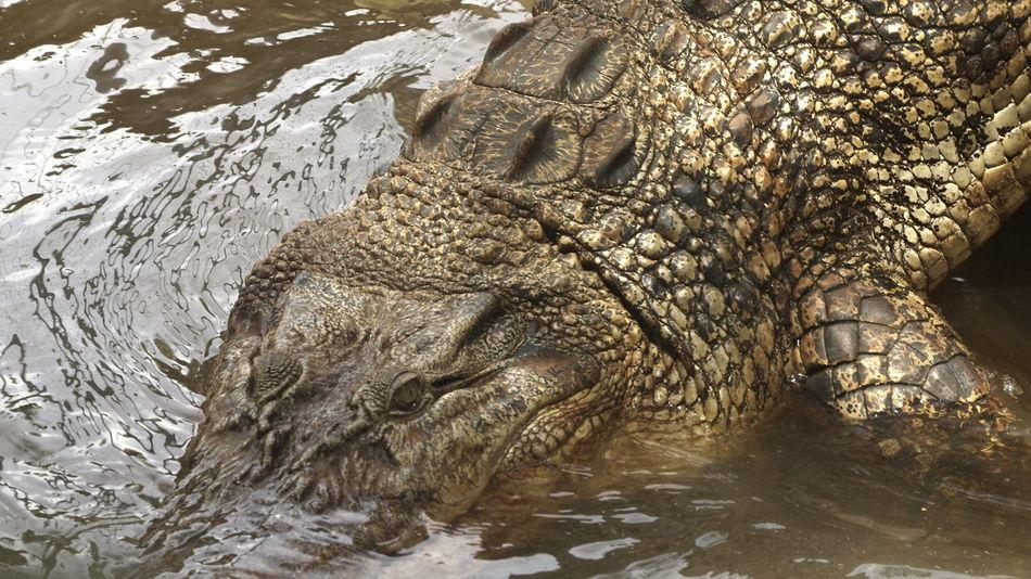 Mini Zoo Bintan Alligator Animal Themes Close-up Crocodile Day No People One Animal Outdoors Reptile