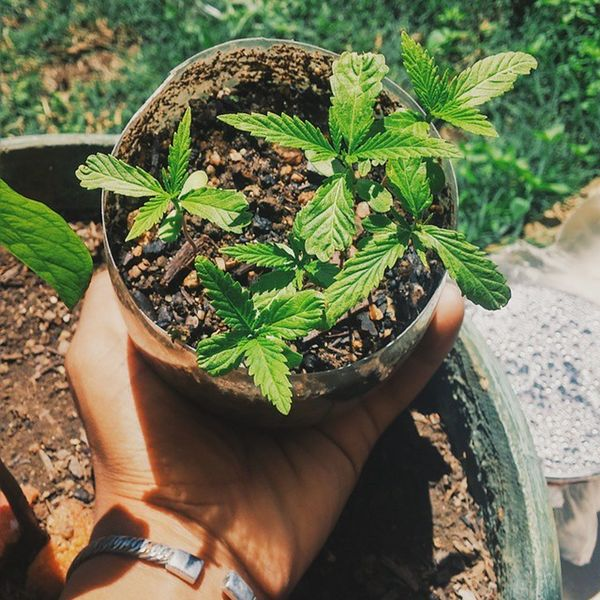 Heal the land. Mellow sativa-indica mix. Cant wait for harvest! :D Marijuana Growyourown Sativa Chronic  earth earthchild liveauthentic stoner love spiritual knowledge vscocam vscoartist vscosouthafrica africa nature greenfingers green trees farmer instagood southafrica legalize dope soil heal land hand garden 011214