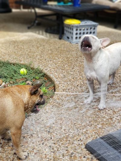 crazy frenchies playing in the water... Water Water Dogs Frenchielove Cream And Fawn Frenchie Swimming Frenchie Frenchies Play EyeEm Selects Pets Dog