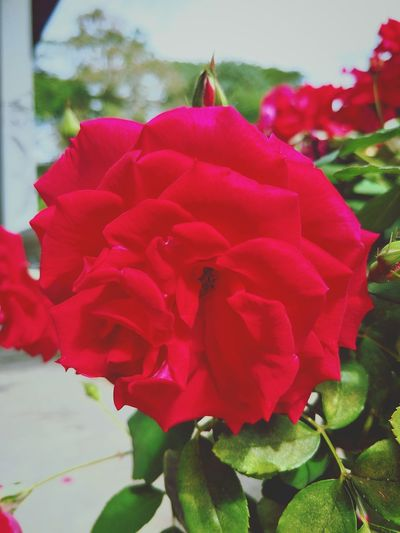 Is Rose 🌹 Flower Red Pink Color Petal Close-up No People