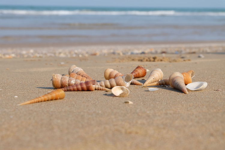 Conch Shells On Shore At Beach