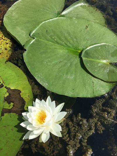 Water Lily Gallup Park Pure Michigan Huron River