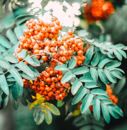 Close-up of orange fruits on plant