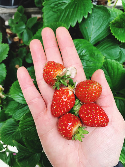 Midsection of person holding strawberry