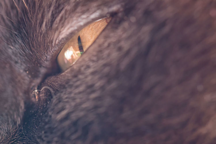 Eye of a big male cat - mix of British Shorthair and Burma Animal Themes British Shorthair Cat Cats Cat♡ Close-up Day Domestic Animals Domestic Cat Feline Indoors  Macro Macro Beauty Macro Photography Macro_collection Mammal Nature No People One Animal Pet Pets Portrait Relaxation Selective Focus Siamese Cat