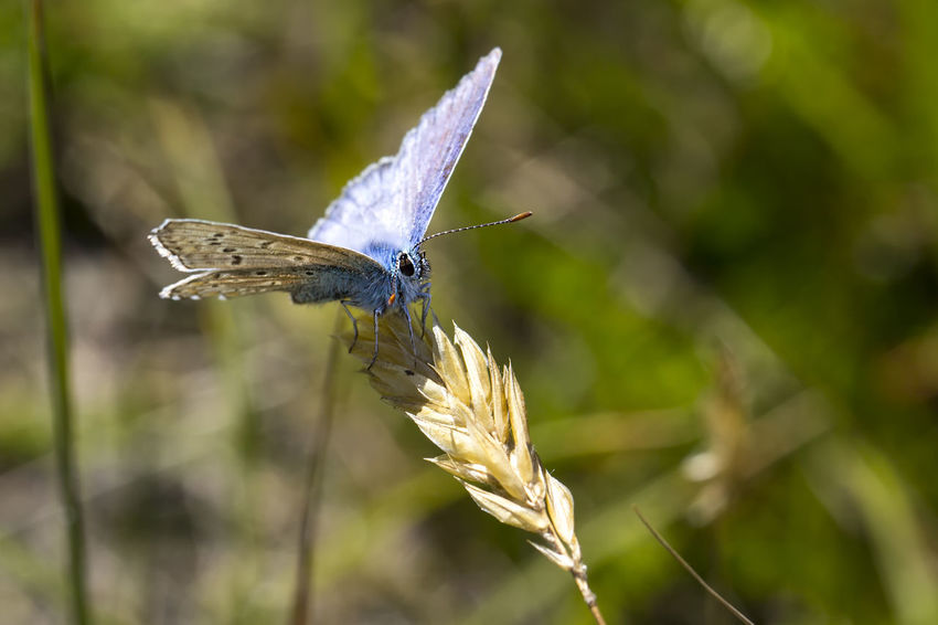 Beauty In Nature Blue Butterfly - Insect Callantsoog Nature No People Wildlife Zwanenwater