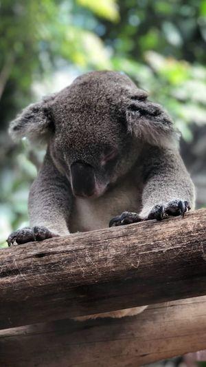 It was nice to see you little friend.. The Portraitist - 2018 EyeEm Awards Koala Animal Themes Animal Animal Wildlife Animals In The Wild Mammal One Animal Vertebrate No People Sitting Plant Resting