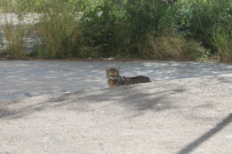 Mica, Feral Cat Animal Animal Photography Animal Themes Beauty In Nature Cat Lovers Cats Cats 🐱 Cat♡ Feline Feline Portraits Felinelover Feral Cat Feral Cats Madrid Madrid Spain Nature Nature No Filter, No Edit, Just Photography No People Outdoors Pets