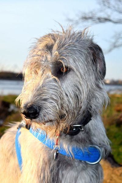 Dog Domestic Animals Animal Themes Outdoors Portrait Beach Water Close-up Herrenkrugpark Dogwalk Cearnaigh Irish Wolfhound Dog Of The Day Dogslife Animal Head  Looking At Camera Silhouette Sunlight How Is The Weather Today? Cloud - Sky A Walk In The Park Spring 2017