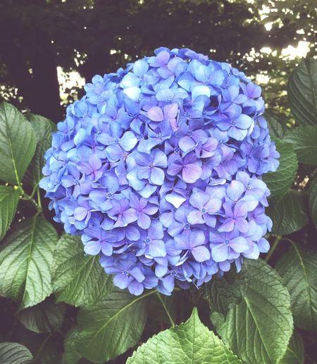 Flower Beauty In Nature Growth Nature Leaf Hydrangea Blue Ajisai The Rainy Season Rainy Days Daily Life Japanese Hydrangea