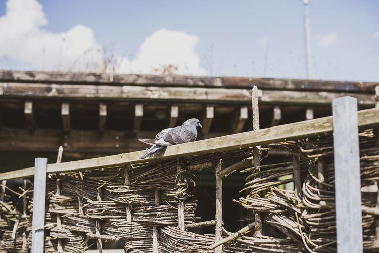 Perching Pigeon