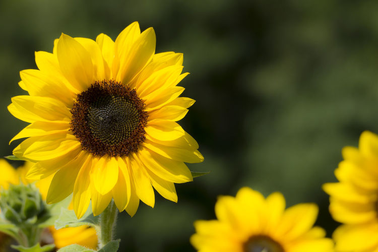 Natur in Kronach - Frankenwald Beauty In Nature Close-up Day Flower Flower Head Flowering Plant Focus On Foreground Fragility Freshness Growth Inflorescence Invertebrate Nature No People Outdoors Petal Plant Pollen Pollination Sunflower Vulnerability  Yellow