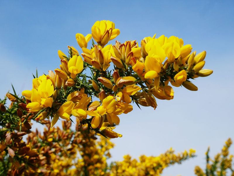Yellow Flower Nature Beauty In Nature Plant Close-up No People Flower Head Gorse Bush Gorse Flower Blue Sky Spring