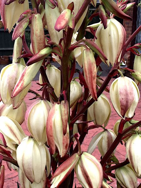 Yucca Flower Yucca Plant Flowers,Plants & Garden Nature Botany Living Organism Garden Close Up Colour Image Nobody Outdoors