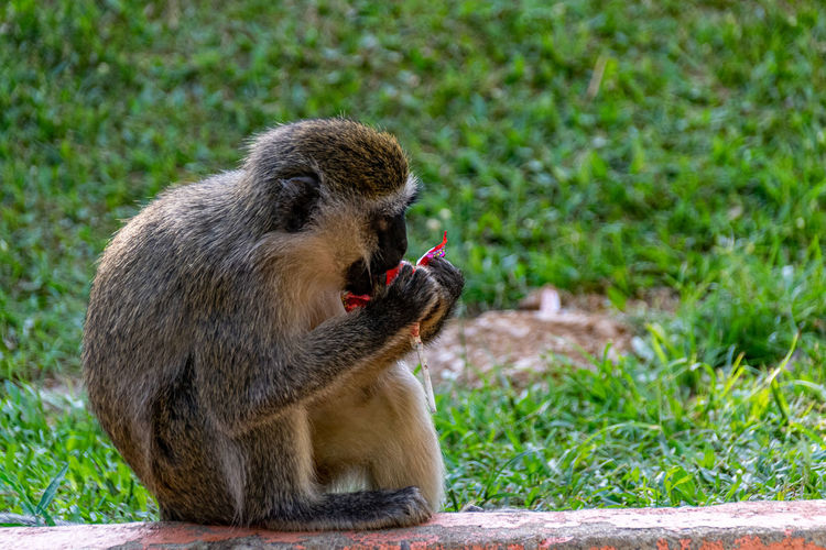 Vervet monkey, chlorocebus pygerythrus,  eating a discarded sweet lollipop