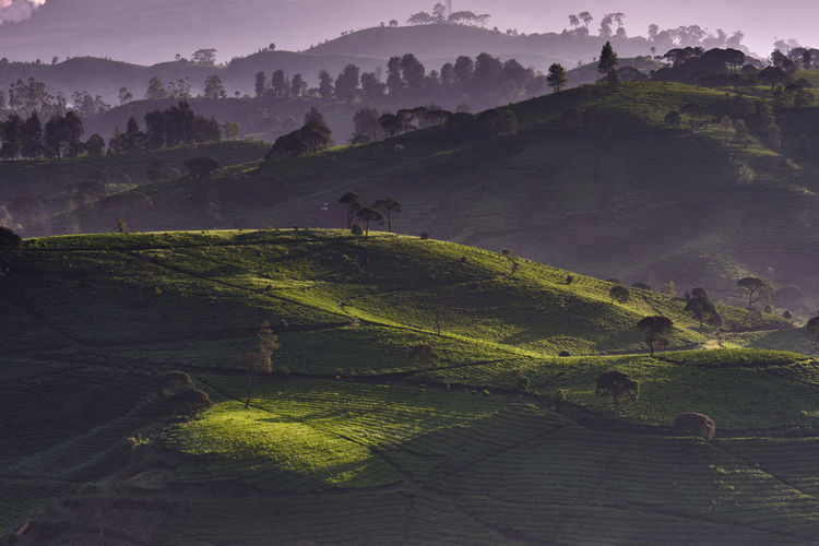 Scenic view of tea plantation field in the misty morning