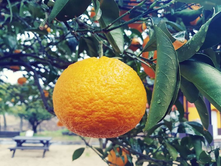Mandarin Oranges JEJU ISLAND