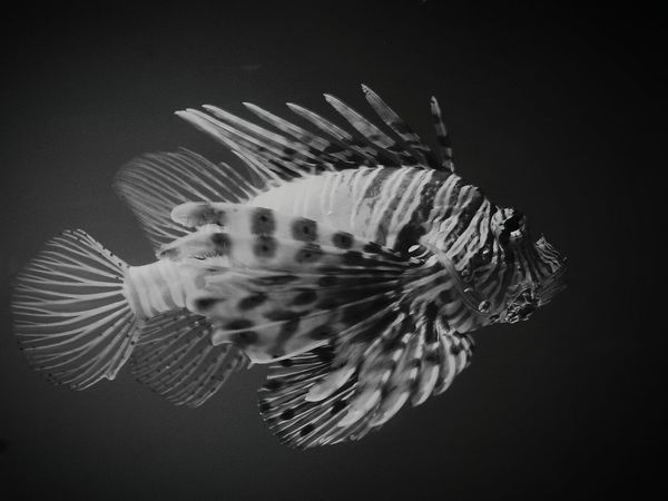Pez León Peces Acuario Acuarium Blanco & Negro  Blanco Y Negro Black And White Photography Black&white Blackandwhite Black And White Collection  Blanco Y Negro.