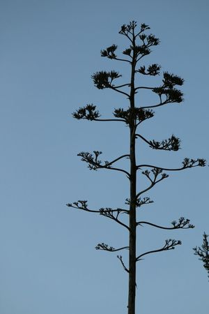Agave Low Angle View Agave Plant Tree Silhouette Growth Nature Beauty In Nature Single Tree Scenics Tranquil Scene Tall - High Mediterranean Nature Mediterranean Landscape Simple Simple Photography Nature Photography Nature On Your Doorstep Non-urban Scene Macro Taking Photos Close-up Agava Nature Plant