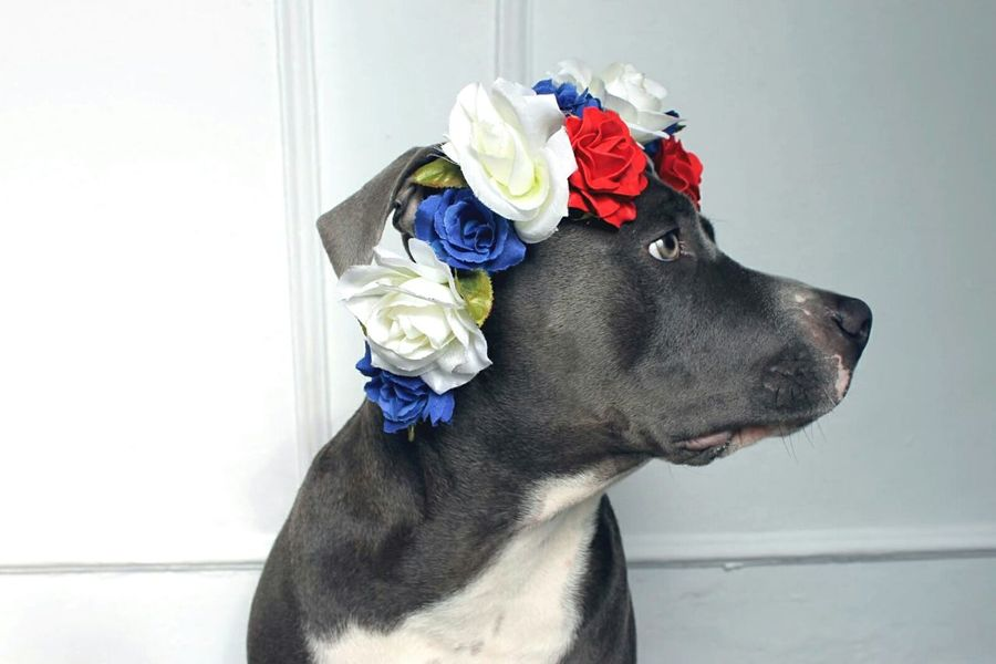 Always Be Cozy Baby stanffor. American Stanford  Puppy Roses Staffy Lovedogs Blue Crown Profile Portrait Lovely Cute Pets Handmade For You