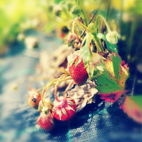 Fresh strawberries Strawberries Summertaste Firsttimeinthissummer