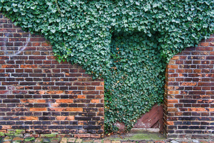 Ivy growing on brick wall of building