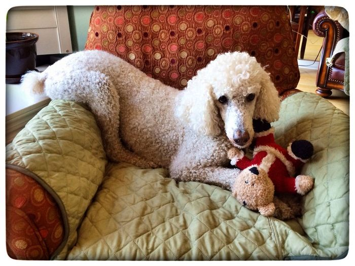 Standard Poodle My Dogs Are Cooler Than Your Kids I Love My Dog Dog Toy My Dog Dogstagram Hello World Cute Pets