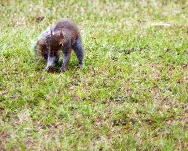 Squirrel Animal Themes Animal Wildlife Animals In The Wild Day Grass Mammal Nature No People One Animal Outdoors