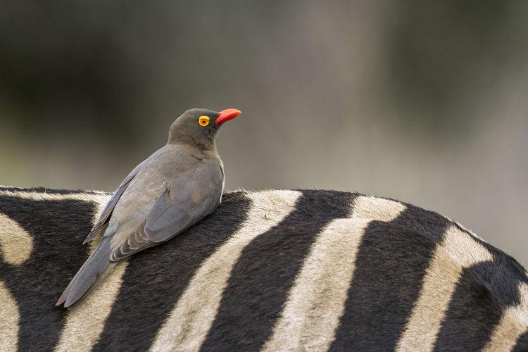 Bird perching on zebra