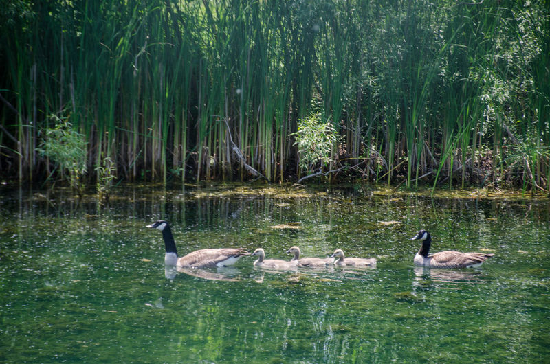 Geese Animal Animal Family Animal Themes Animal Wildlife Animals In The Wild Beauty In Nature Bird Cygnet Day Floating On Water Gosling Group Of Animals Lake Nature No People Outdoors Plant Swimming Vertebrate Water Water Bird Waterfront Young Animal Young Bird The Great Outdoors - 2018 EyeEm Awards