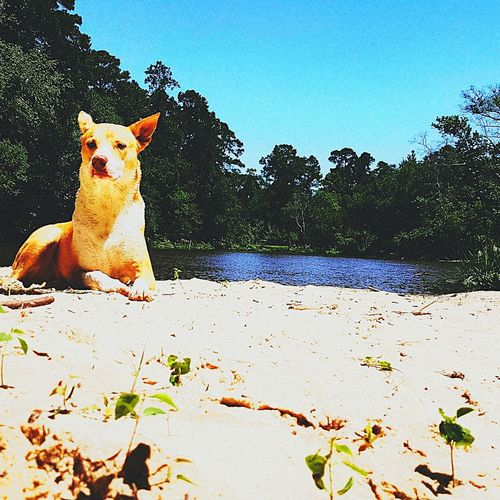 Dog Pets One Animal Domestic Animals Animal Sand Mammal Outdoors Nature Sitting Tree Sunlight Animal Themes No People Beach Day Portrait Sky Water Protruding Molly Dog Doing Favorite Thing. Light Brown Dog Water Dog Water Reflections Nature Pet Portraits