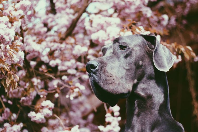 Domestic Animals One Animal Animal Themes Dog Pets No People Nature Focus On Foreground Outdoors Day Close-up Flower Tree Great Dane Deutsche Dogge Bokeh Bokeh Photography Canon700D Vintage Blooming Springtime Pink Color Portrait Vscocam My Best Photo