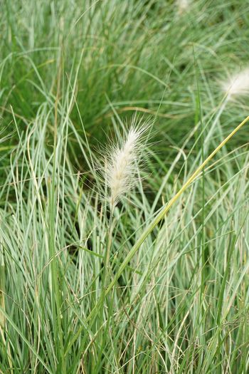 Grass Beauty In Nature Bloom Blooming Blossom Close-up Day Ear Of Wheat Field Flower Focus On Foreground Fountain Grass Fragility Freshness Grass Green Color Growth Leaf Nature No People Outdoors Plant Pollen Tranquility