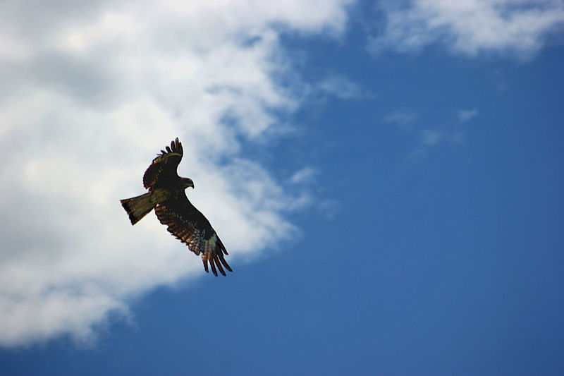 Black Kite Mongolia Animal Animal Themes Animal Wildlife Animals In The Wild Bird Bird Of Prey Cloud - Sky Day Flying Low Angle View Mid-air Motion Nature No People One Animal Outdoors Sky Spread Wings Монгол улс