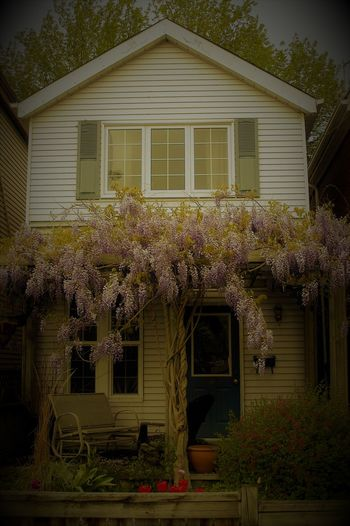 Antiqued look to urban facade of charming home with purple Wisteria in bloom on front porch pergola Wisteria In Full Bloom Wisteria Blooms Wisteria Architecture Plant Built Structure Building Exterior Building Flowering Plant Flower House Residential District Nature Tree No People Window Grass Beauty In Nature Growth Day Outdoors Front Or Back Yard