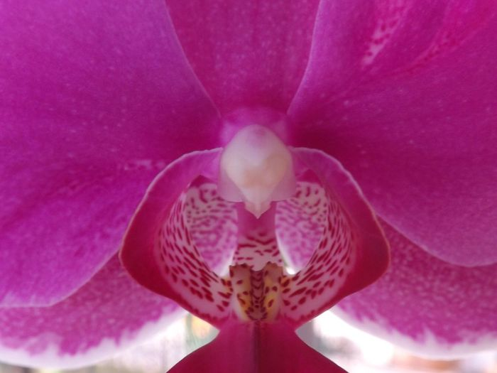 Flower Petal Pink Color Flower Head Beauty In Nature Fragility Nature Indoors  Close-up Freshness No People Blooming Day Orchid Orchidee