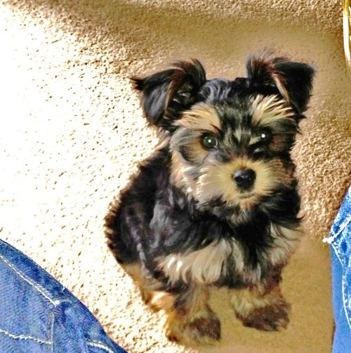 Animal themes. Dog. Terrier. Puppy. Young dog. Small dog. Baby Dog. Dog Domestic Animals Focus On Foreground No People Pets Portrait Puppy Dog. Small Dog.. G Sweet Little Puppy Dog. Terrier Dog.