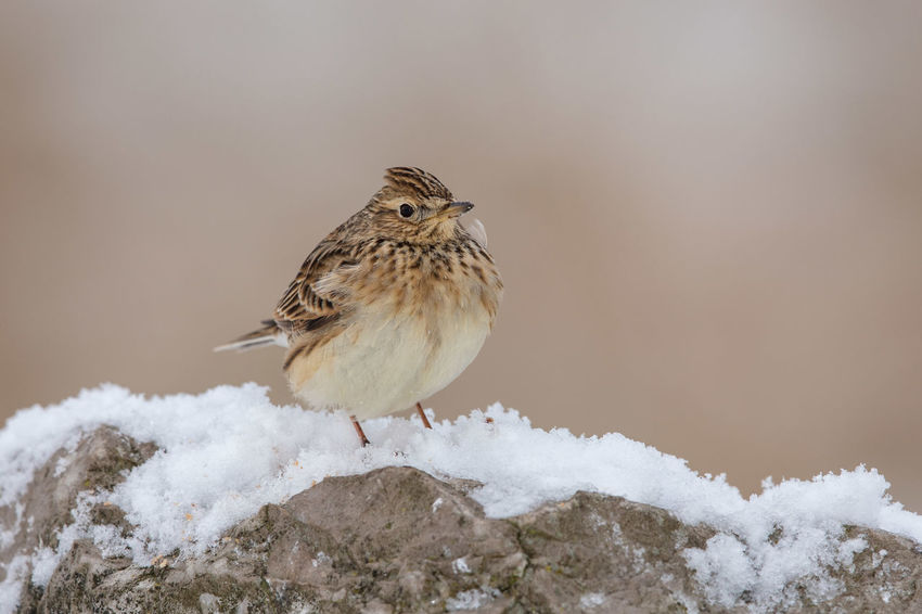 skylark (Alauda arvensis) perched in the snow Skylark, Skylark  Feldlerche Alauda Arvensis Alouette Des Champs Alondra Común Farmland Declining Bird Songbird  Springtime Animal Wildlife Snow Cold Temperature Animals In The Wild Vertebrate Animal Themes Animal Winter One Animal Perching Day Nature No People Outdoors