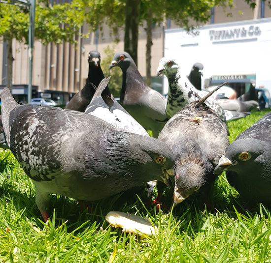Bird Grass Flock Of Birds Pigeon Large Group Of Animals Group Of Animals