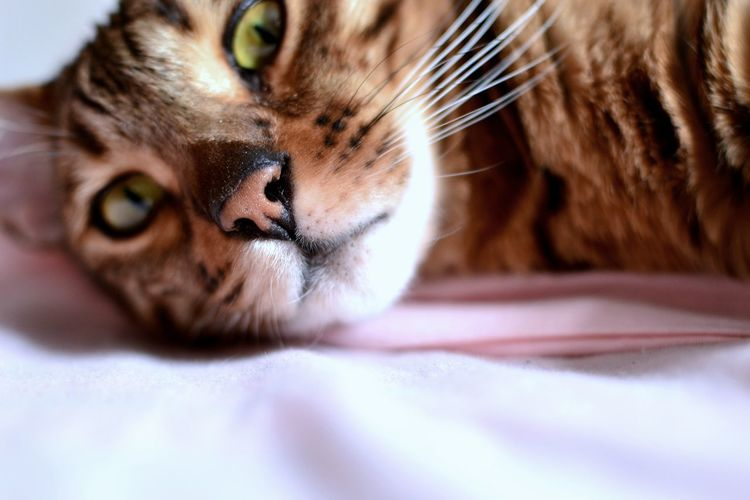 My sweet Bengal cat Animal Themes Bengal Cat Cat Close-up Day Domestic Animals Domestic Cat Exotic Pets Feline Green Eyes Lying Down Mammal Natural Beaty No People One Animal Pets