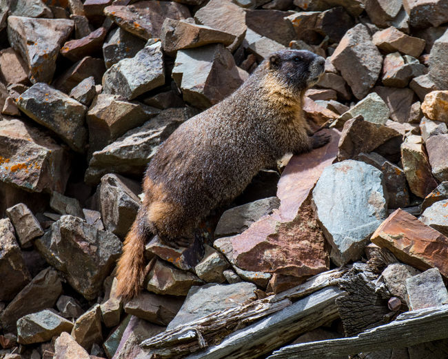 Sep 2018 - Yellow-bellied Marmot living at 10,000 feet above sea level. Animal Animal Themes Animal Wildlife Animals In The Wild Day Full Length Herbivorous Mammal Marmot Nature No People One Animal Outdoors Profile View Rock Rock - Object Rodent Side View Vertebrate Wood - Material