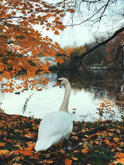 Park, white swan by the lake. Autumn view of the lake. Tree branches over the water. 20.20.2018 Saint Autumn 2018 Authentic Moments Autumn Leaves Autumn colors Ducks At The Lake Architecture Autumn Collection Autumn Collection Bird Animals In The Wild Nature Water Swan Animal Themes Animal Lake Animal Wildlife Tree No People Group Of Animals Beauty In Nature White Color Outdoors Water Bird