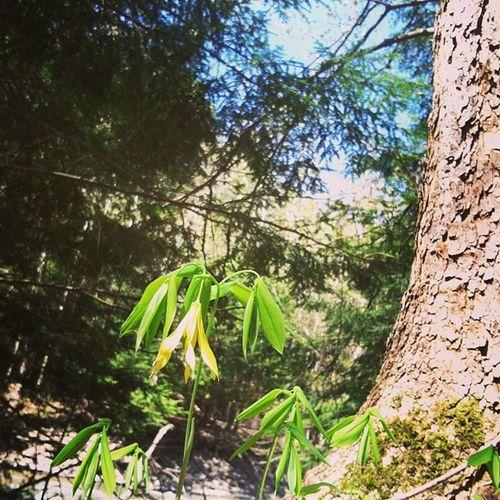 Uvularia Bellwort Springephemerals Ithaca