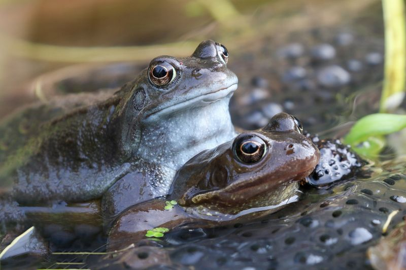 Mating Frogs Animal Animal Themes Animal Wildlife Animals In The Wild Vertebrate Reptile One Animal Amphibian No People Close-up Frog Nature Water Animal Body Part Day Side View Outdoors Focus On Foreground Animal Head
