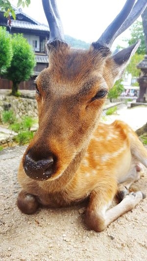 A local in the island of Itsukushima, Japan. These deer wander freely, often cheekily rummaging for food through handbags, rucksacks, and anything else that tourists to the shrines and temples there may have on them. Japan Hello World EyeEm Masterclass Miyajima Check This Out Popular Photos Explore Adventure EyeEmBestPics Buddhist Temple Japan Culture EyeEm Best Shots EyeEm Gallery EyeEm Japan Japan Photography Itsukushima Miyajima Island Travel Destinations Eyeem Market Nature Deer Deer Antler Nature Photography Nature_collection