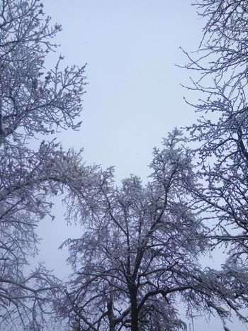 Tree Nature Low Angle View Sky Branch Winter Beauty In Nature Bare Tree No People Pinaceae Day Snow Forest Outdoors Cold Temperature Snowing Clear Sky Freshness Bird