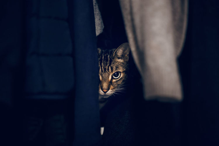 Funny scared tabby pet cat hiding in clothes at closet. adorable frightened kitten looking out.