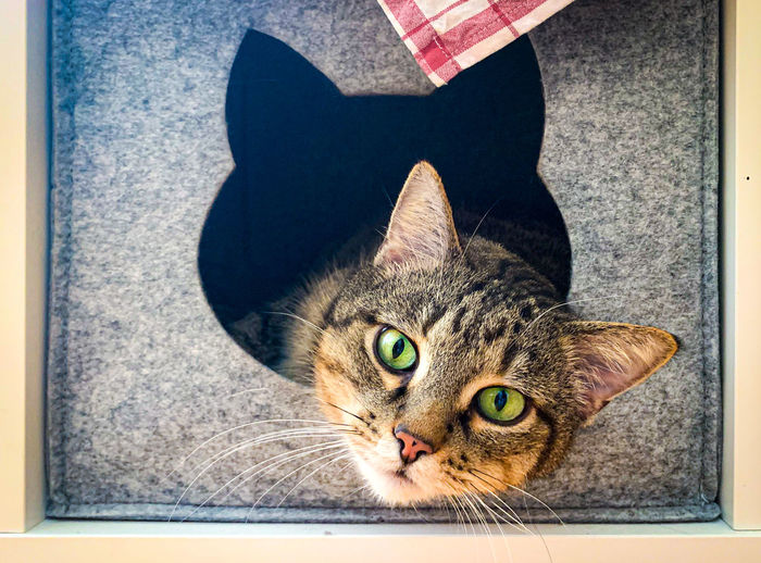 High angle portrait of tabby cat